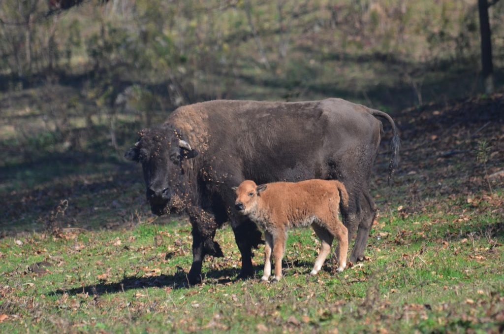 Mother & Baby Bison