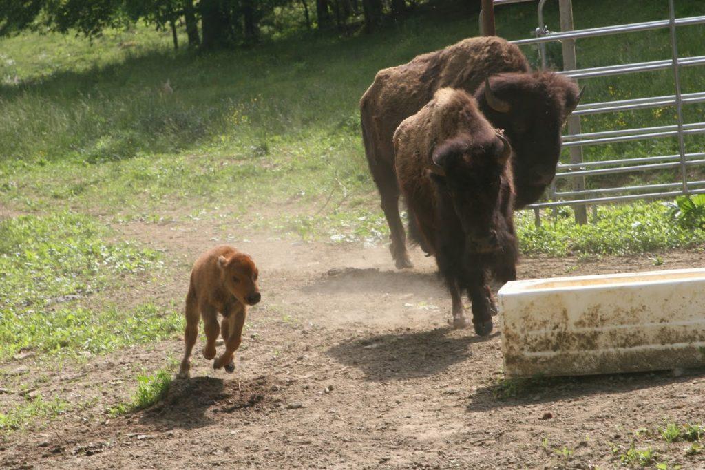 Bison running.
