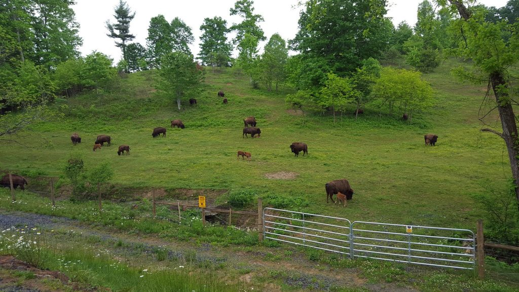 Bison in our pastures